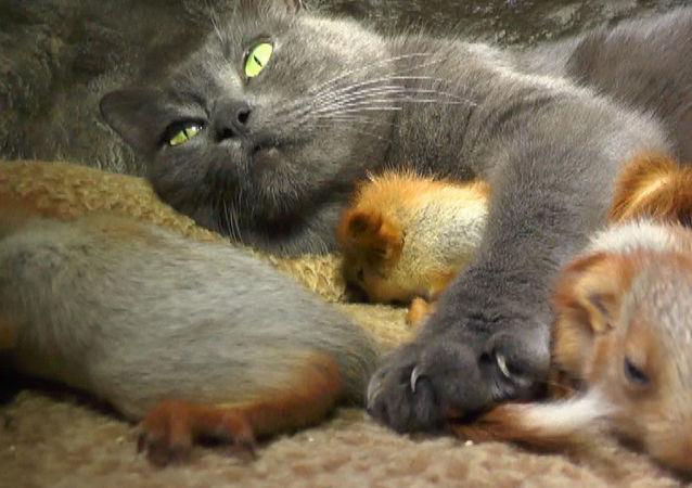 Kırım'da anne kedi yavru sincapları sahiplendi