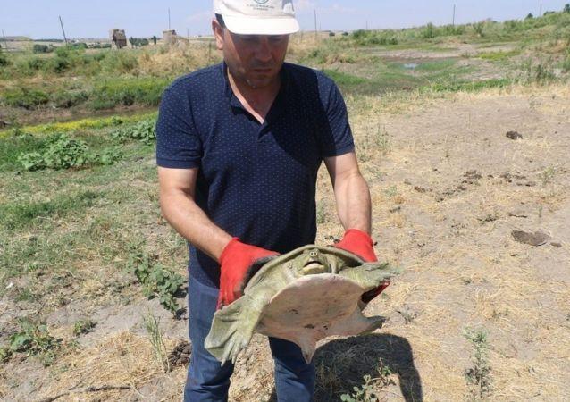 Diyarbakır'da nesli tükenmek üzere olan Fırat kaplumbağası bulundu