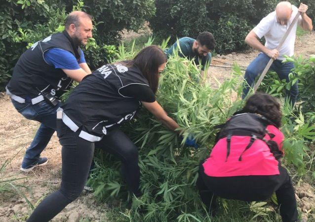 ADANA'DA BİR PORTAKAL BAHÇESİNDE 70 KÖK HİNT KENEVİRİ BİTKİSİ ELE GEÇİRİLDİ. (FATİH KEÇE - SERKAN ÇETİNKAYA/ADANA-İHA) Adana'da bir portakal bahçesinde 70 kök Hint keneviri ele geçirildi. Keneviri ektiği iddiasıyla gözaltına alınan 60 yaşındaki şahıs, Şeker hastasıyım, televizyonda ünlü bir doktor kenevirin şeker hastalığına iyi geldiğini söyledi. Bu yüzden ektim, kullandım, şeker oranım yarı yarıya düştü dedi.