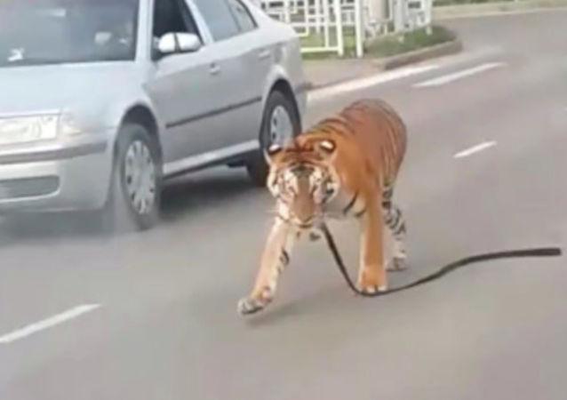 Rusya'da trafikte üstü açık bir otomobildeki kaplan eğitmenden kurtularak aniden yola atladı. Kaplanın bir sirke ait olduğu belirtildi.