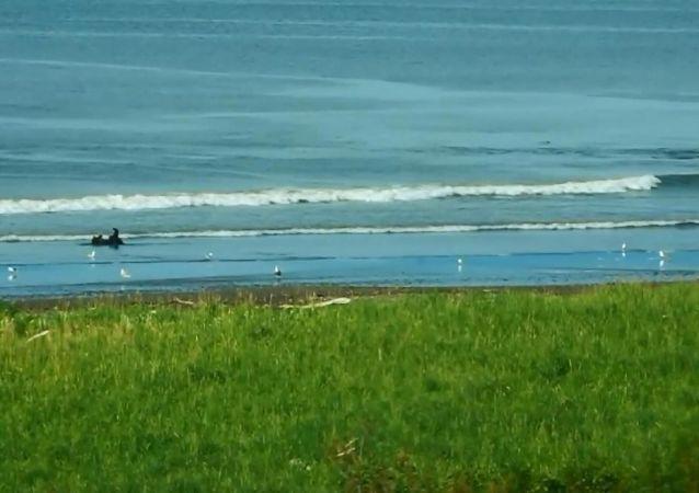 Balina taklidi yapan bozayı