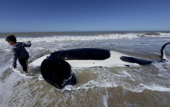 Arjantin'de sahile vuran katil balinalardan 6'sı kurtarıldı