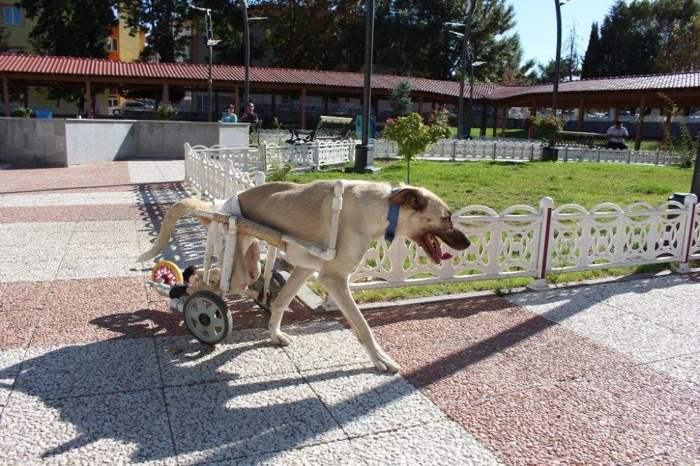 Uşak'ta yaşayan Safiye Acar isimli bir hayvansever, arka ayakları felçli olduğu için sahibi tarafından terk edilmek üzere olan iki aylık köpek yavrusunu sahiplendi.  Yavru köpeği veterinere götürülünce, omurilik felci olduğunu öğrenen Acar, veterinerin 'bu köpek yaşamaz, uyutalım' demesine aldırmadı ve 'Pamuk' ismi koyduğu yavru köpeği hayata tutundurmak için elinden geleni yaptı.