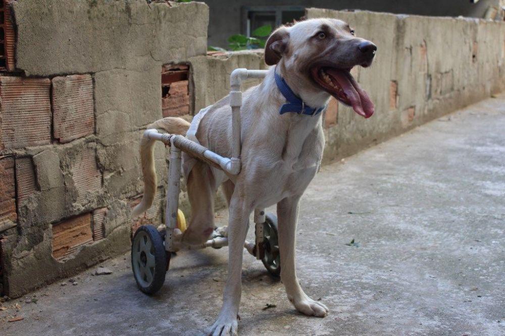 Şimdi 1.5 yaşında olan Pamuk, Acar ile birlikte engelsiz bir şekilde yaşamaya devam ediyor.