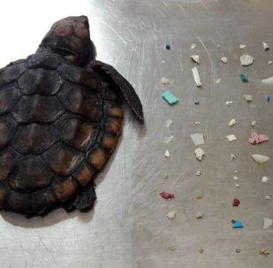 Gumbo Limbo Doğa Merkezi, ölen yavru deniz kaplumbağasının ve midesinden çıkan plastik parçalarının fotoğrafınıFacebook'ta paylaştı.