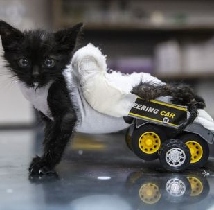 Edirne'de üniversite öğrencilerinin bulduğu, ezildiği için arka bacakları tutmayan kedi yavrusu, barınak yetkilileri tarafından oyuncak kamyondan yapılan yürüteç yardımıyla yürümeye başladı.