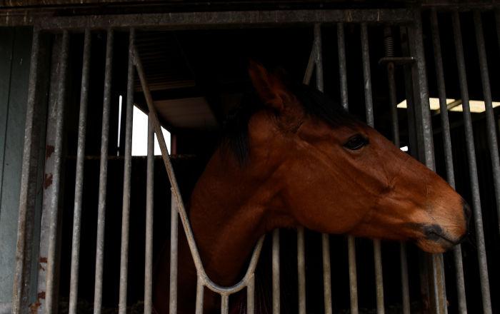 Avustralya'da ayda yüzlerce yarış atının işkenceyle kesilip etlerinin ihraç edildiği ortaya çıktı