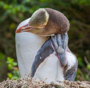 Nesli tükenmekte olan sarı gözlü penguen hoiho