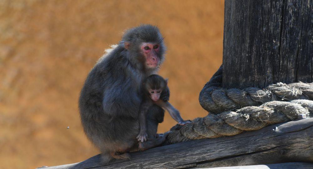 70 yıldır bir ilk: Dişi makak maymunu Yakei, erkeğe meydan okuyarak alfa oldu