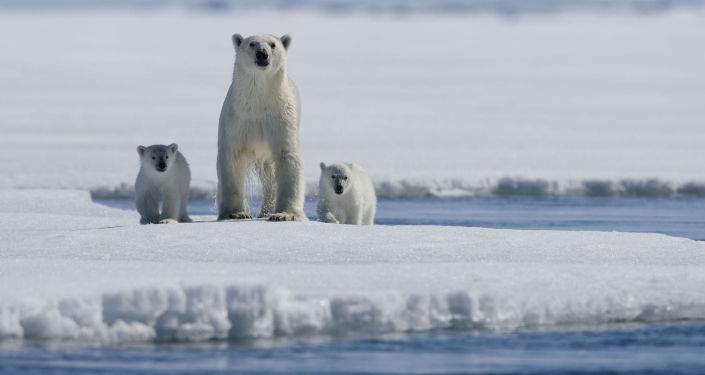 Bir kutup ayısı ailesi