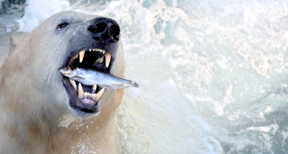Hannover Hayvanat Bahçesi'nde yaşayan kutup ayısı balık yiyor