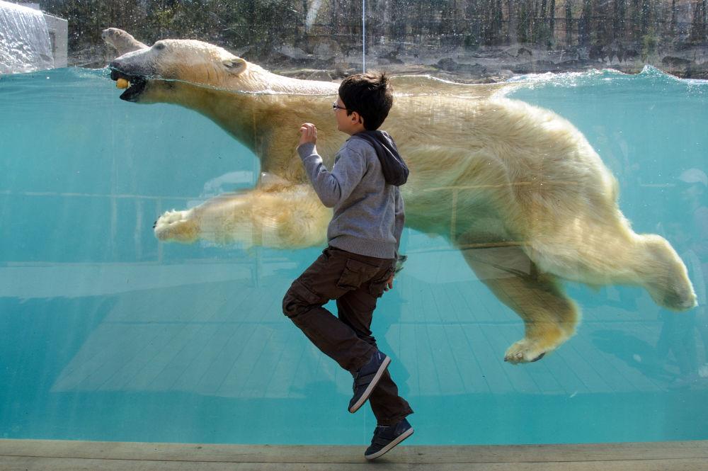Mulhouse Hayvanat Bahçesi'nde bir çocuk kutup ayını izliyor