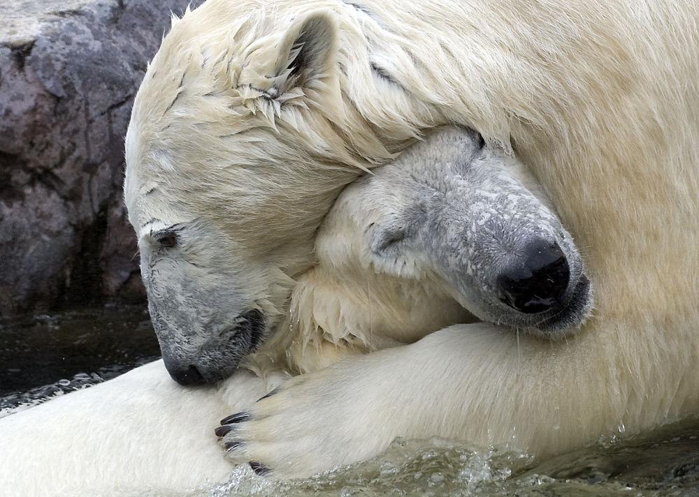 Gelsenkirchen'de  kucaklaşan Bill ve Lara adındaki kutup ayıları