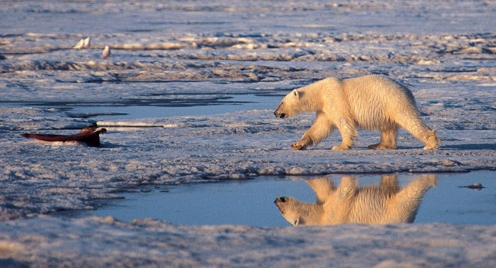 Kutup ayısının doğal yaşam alanına giren gezginler ayıyı öldürdü