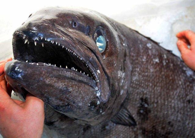 Datça'da yağ balığı şaşkınlığı