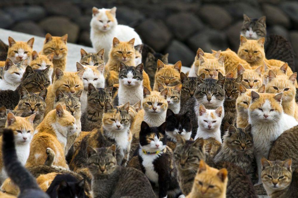 Bir Japonya adasında yaşayan kediler