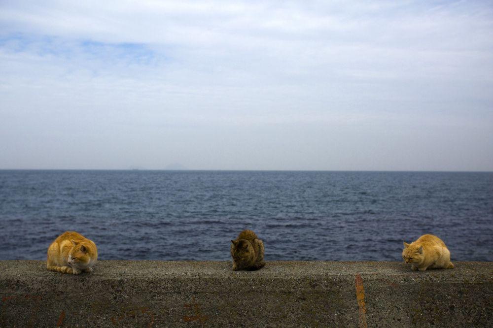 Japonya'nın güneyinde denize bakan bir duvar üzerinde oturan kediler
