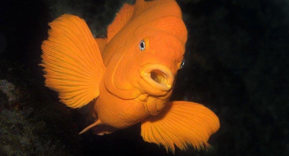 Garibaldi balıkları