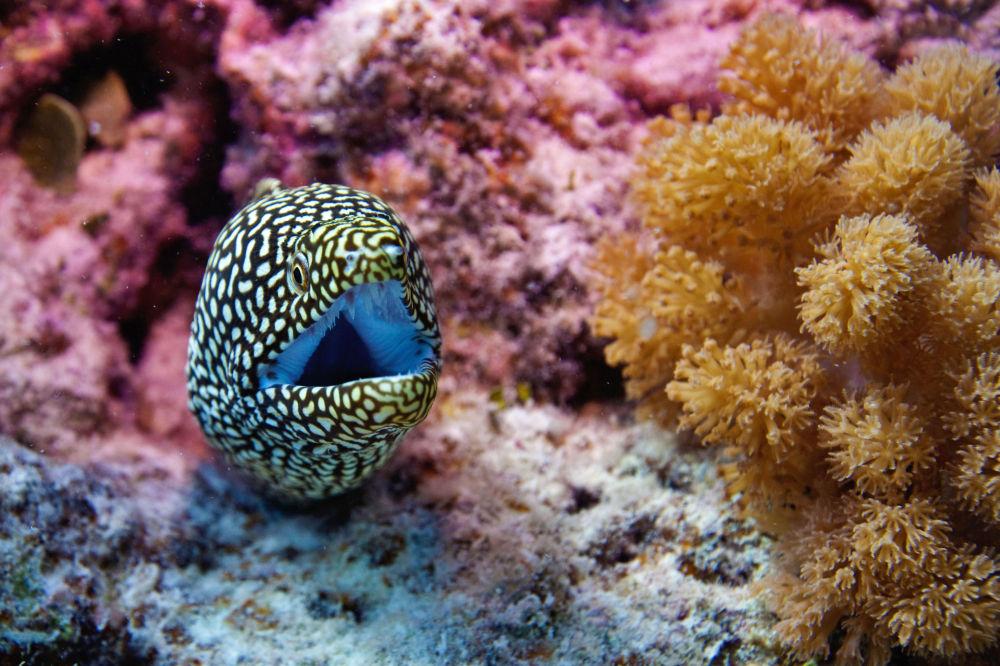 Hint Okyanusu'nun sularında Murana balığı