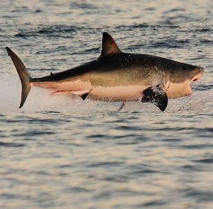 Güney Afrika'daki False Koyu'nun sularında büyük beyaz köpekbalığı