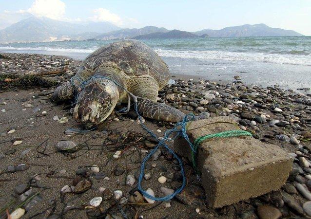 Parke taşı bağlanan deniz kaplumbağası