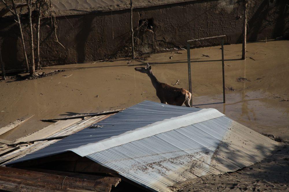 Selden etkilenen Tiflis hayvanat bahçesindeki bir hayvan