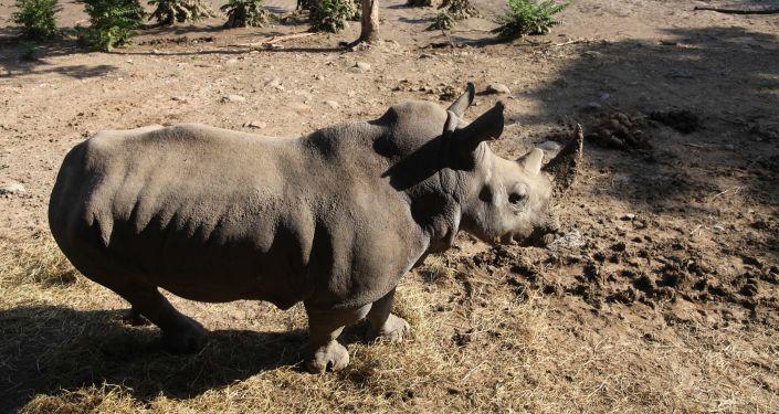 Selden etkilenen Tiflis Hayvanat Bahçesindeki gergedan