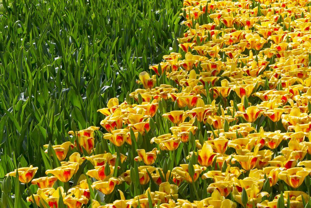 Keukenhof çiçek bahçesi