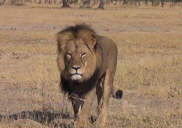 Afrika'nın en ünlü aslanı Cecil öldürüldü
