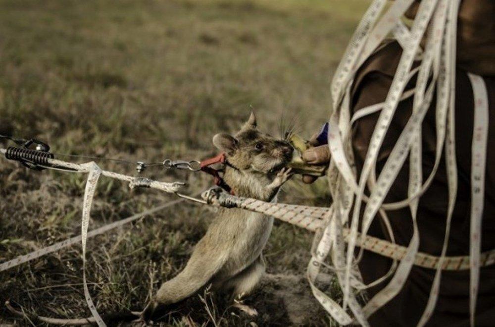Dünyanın en küçük mayın avcıları