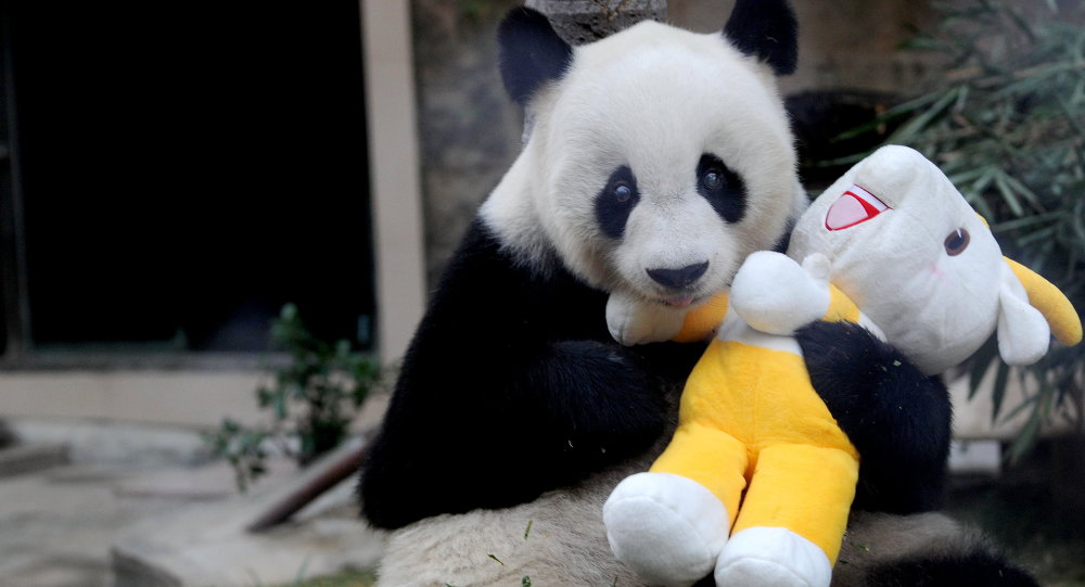 Pan Pan adlı panda