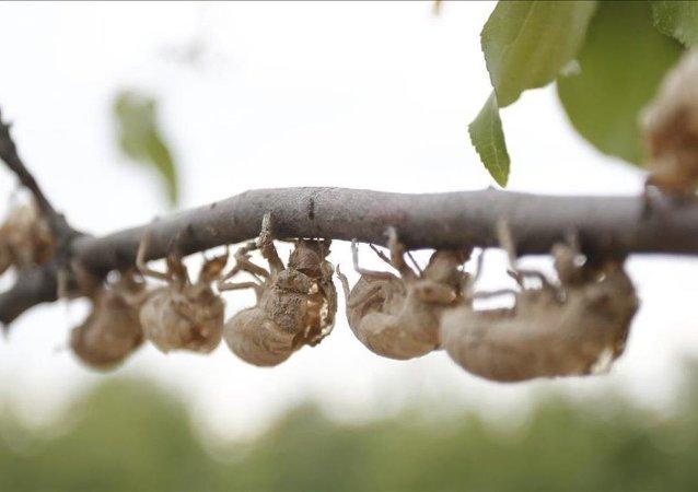 Cırcır böcekleri