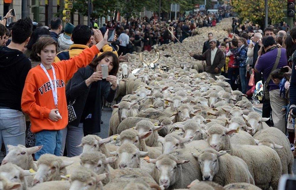 Madrid'de koyunlar şehre indi