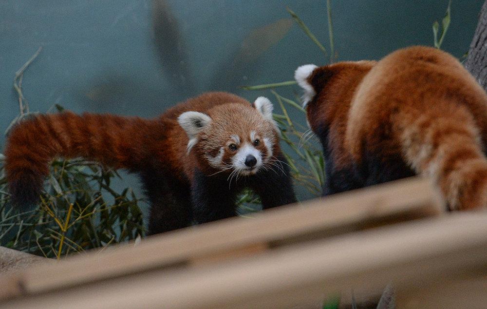 Kızıl panda