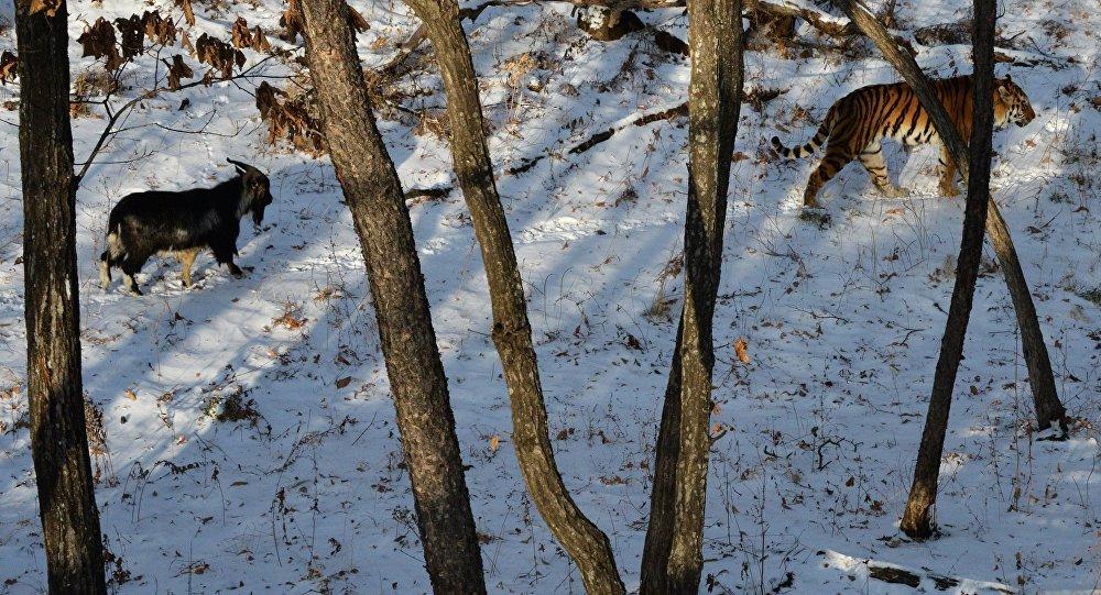 Amur kaplanı ve keçi Timur