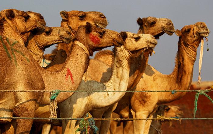 Haber kanalında deve sidiği tartışması