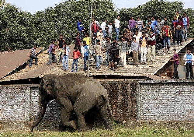 Hindistan'ın doğusundaki Batı Bengal eyaletinde kontrolden çıkan bir fil, bölge halkına zor anlar yaşattı.