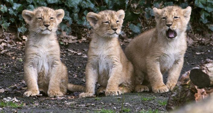aslan yavrusu