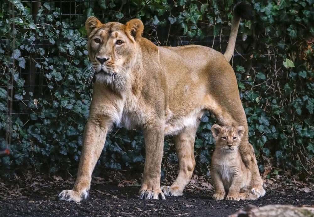 Belçika hayvanat bahçesinde dünyaya gelen Asya aslan yavruları