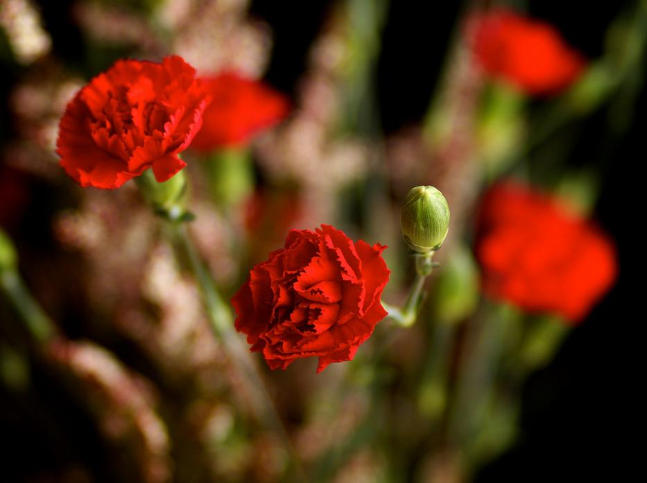 Kırmızı Karnafil