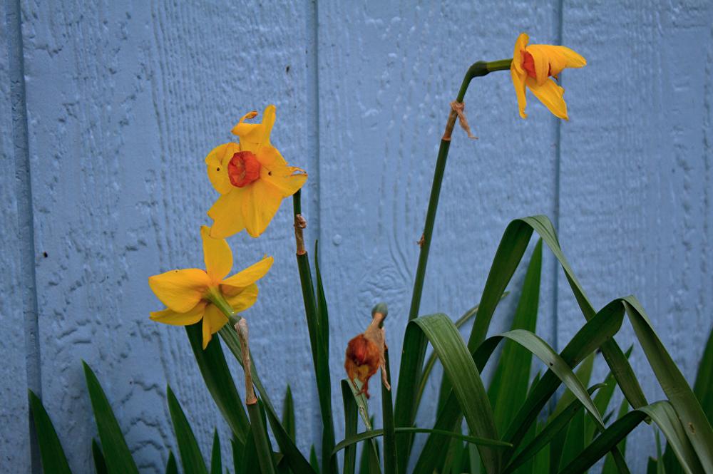 Solmuş çiçek