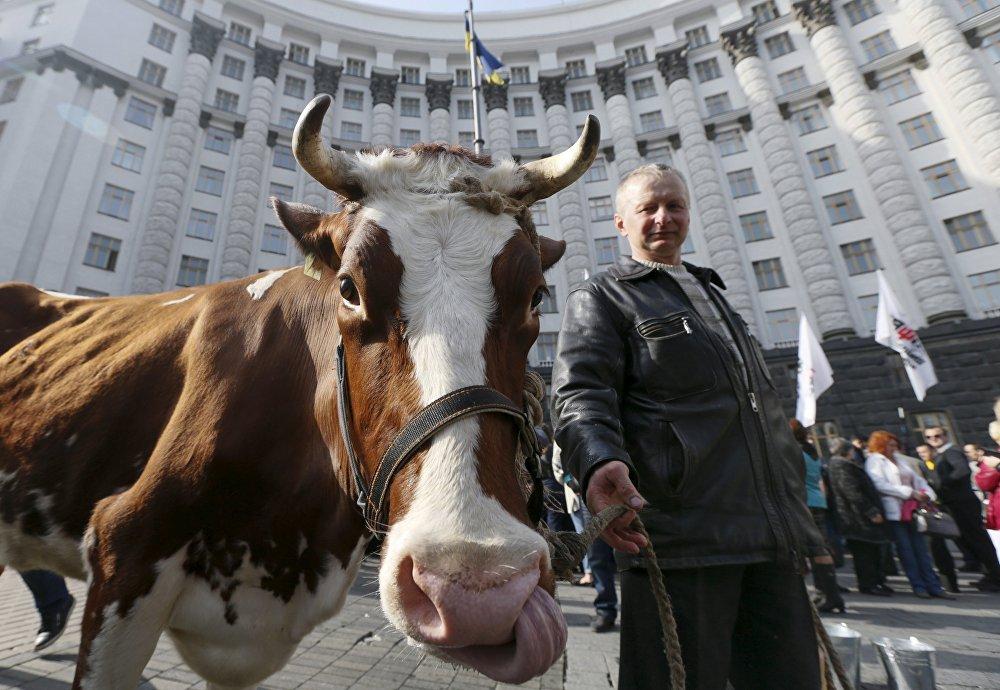 Ukrayna hükümet binası önünde üç inek