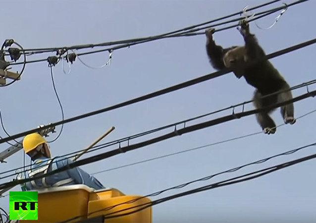 Japonya'da maymun kovalamacası