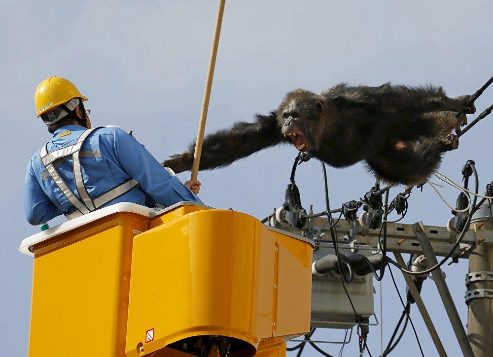 Japonya'da bir hayvanat bahçesinden kaçan bir şempanzeyi yakalama çalışmaları 'tırnak yetirten' görüntülere sahne oldu.