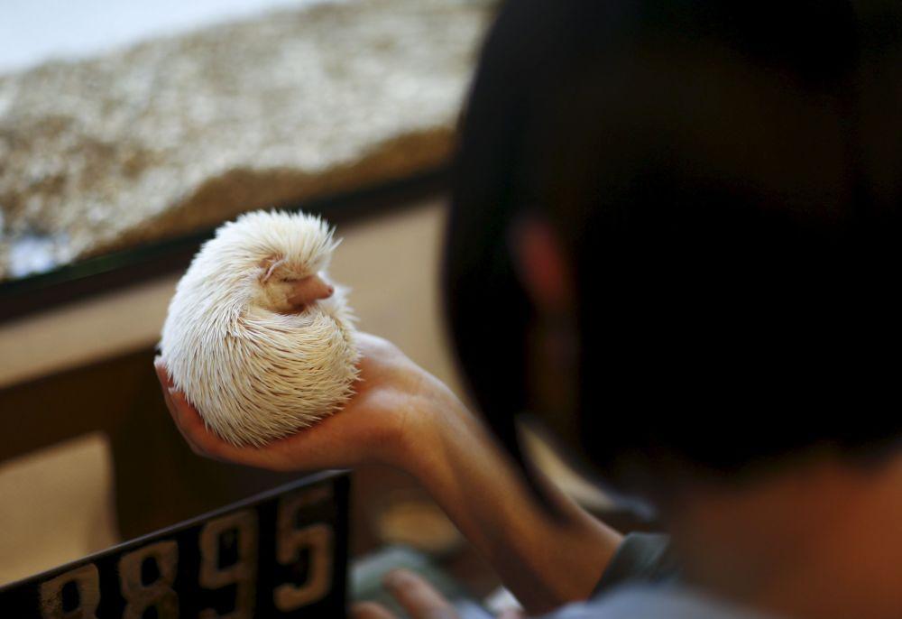 Tokyo'da kirpi kafe açıldı
