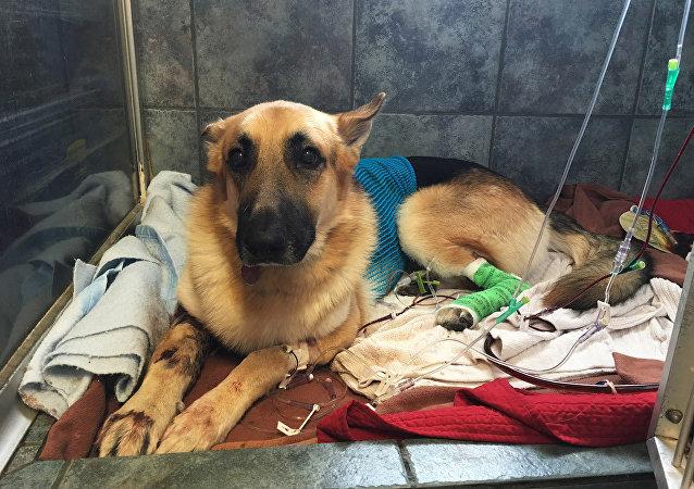 Kahraman köpek Haus, küçük kızı kurtarmak için yılanın önüne atladı