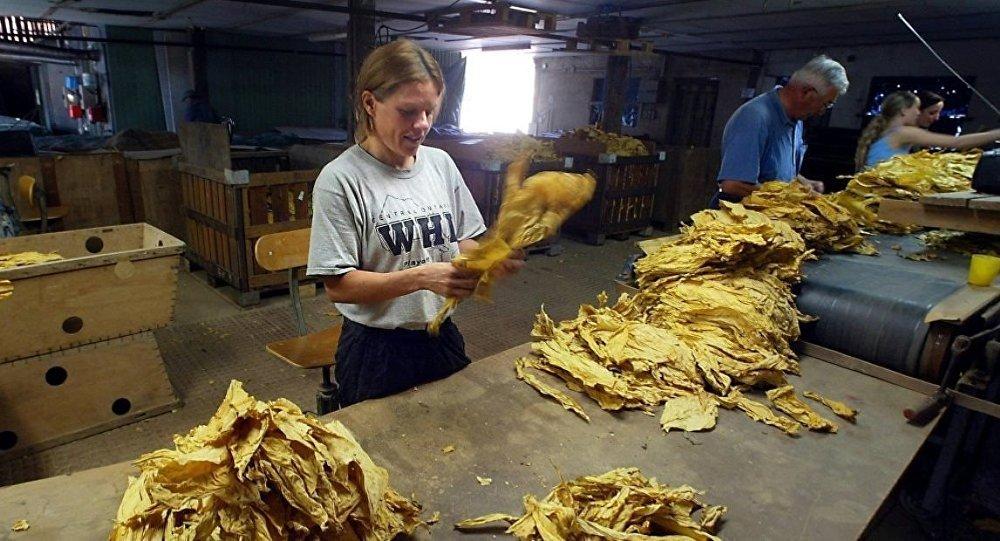 tütün fabrikası