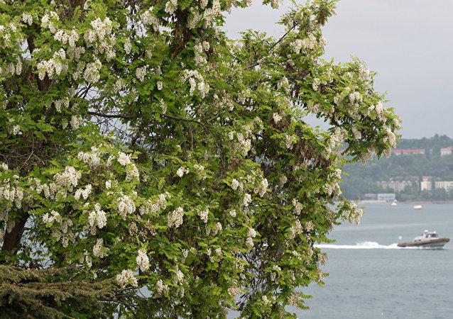 Kırım'ın başkenti Sivastopol'de 'denize bakan' bir akasya ağacı.