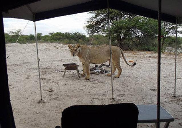 Kgalagadi Transfrontier Park'ta safari yapan turistleri aslanlar uyandırdı.