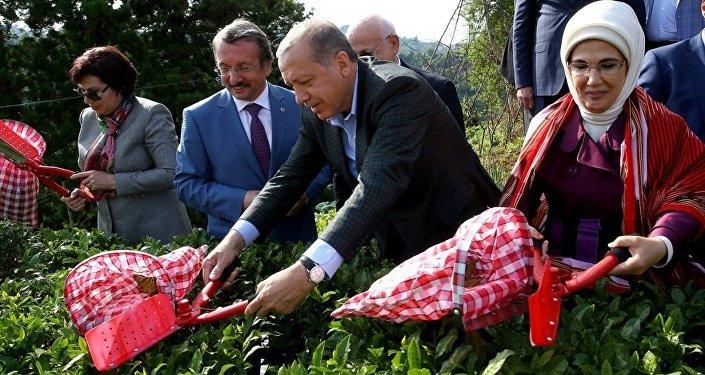 Cumhurbaşkanı Recep Tayyip Erdoğan, eşi Emine Erdoğan ile Rize'deki Ziraat Çay Bahçesi'ni ziyaret ederek çay hasadı yaptı.